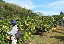 桜山観光みかん園2