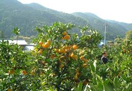 桜山観光みかん園3